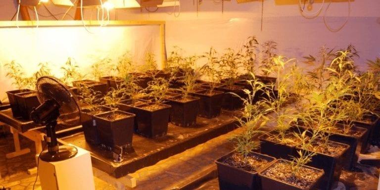 Marihuana-Plantage in Klecken ausgehoben