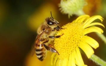Biene bestäubt gelbe Blume