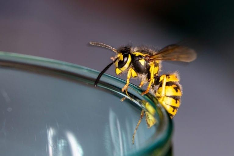 Meist harmlose Besucher: Wespen und Hornissen